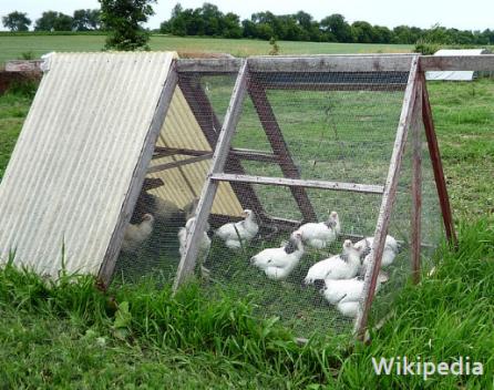 nov-7-chicken-coop-via-wikipedia