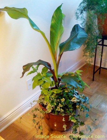 9.4 Banana houseplant from thespruce